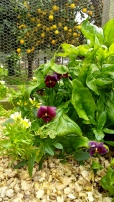 Spinach mixes with self-sown flowers. Patches of beauty are born of their own accord.