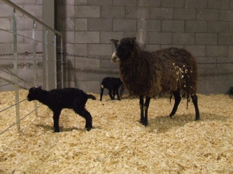 Gotland sheep with very young lambs.
