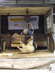 A typical rural NZ activity - shearing sheep.