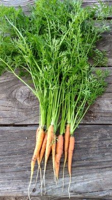 New carrots are a welcome taste.