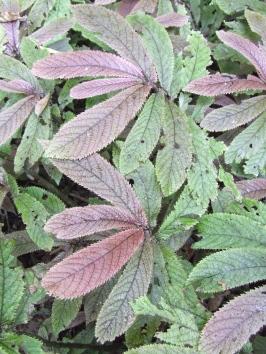 Elatostema rugosum (parataniwha).