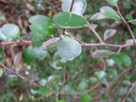 Lophomyrtus obcordata.