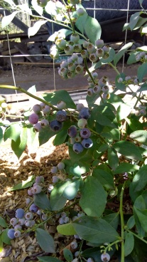 The young blueberry bushes are doing very well, as long as I keep watering them in this crazy weather.