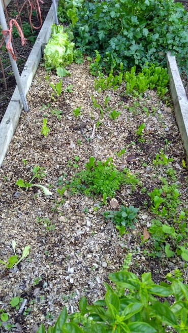 So, this is now the lettuce bed. With carrots. And radishes. And a parsley and a basil.