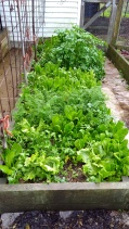 This is the main 'sowing the seeds of victory' bed that was sowed in autumn. It is full of lettuces and carrots and the spring parsley is still going.