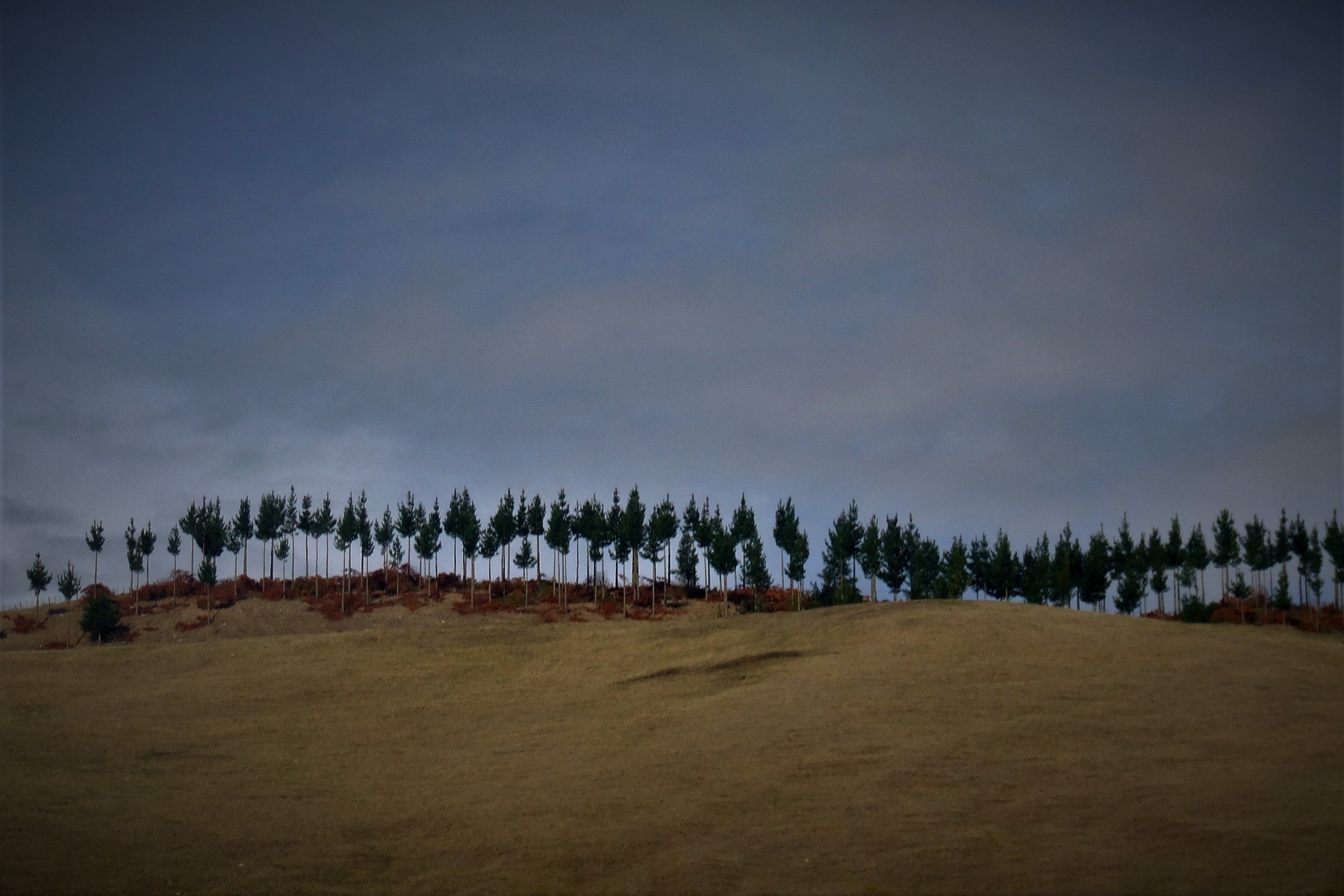 Line of young pine trees standing on ridge of a hill