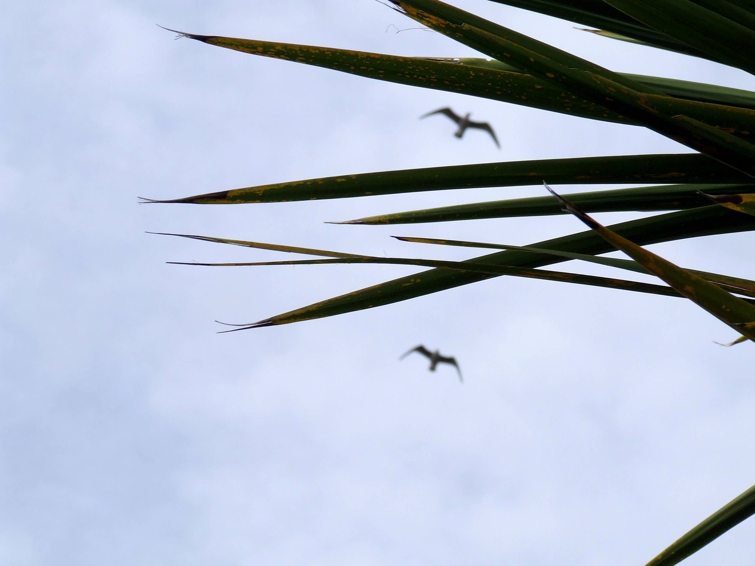 Two birds flying beyond pointy cabbage tree leaves